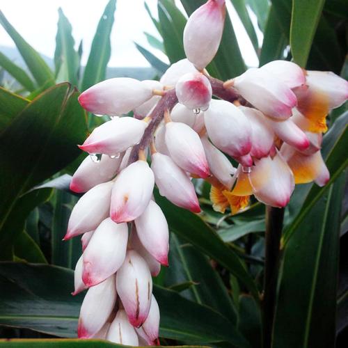 沖縄の梅雨月桃の花